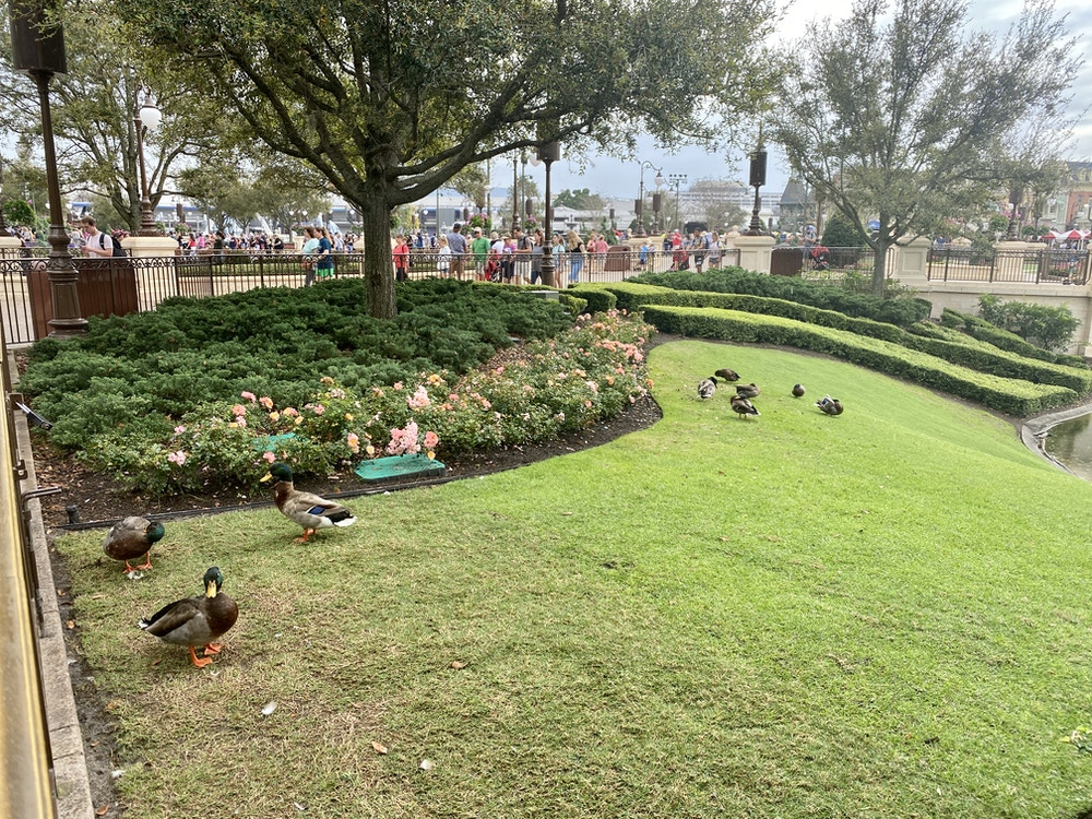 Magic kingdom ducks